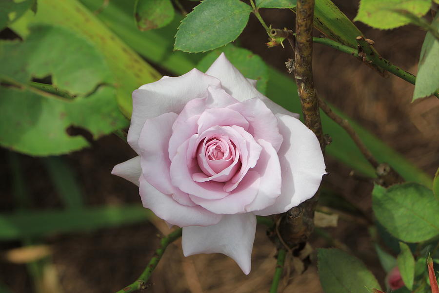 Rose Photograph - Pink Rose by Jerry Battle