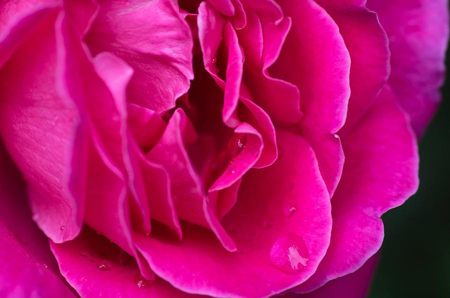Pink Rose by Kanokwalee Pusitanun