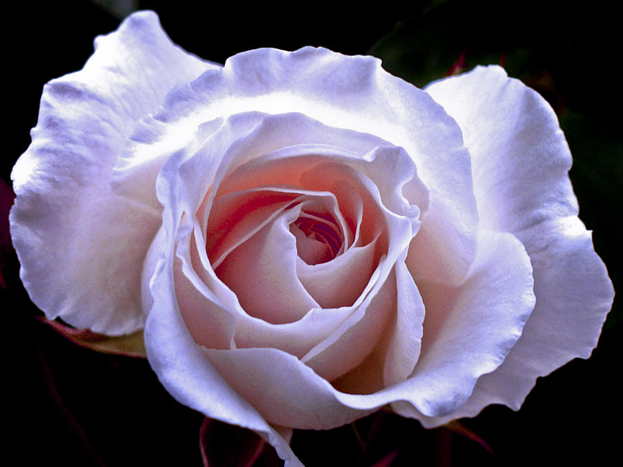 Rose Photograph - Pink Rose by Lee Malzard