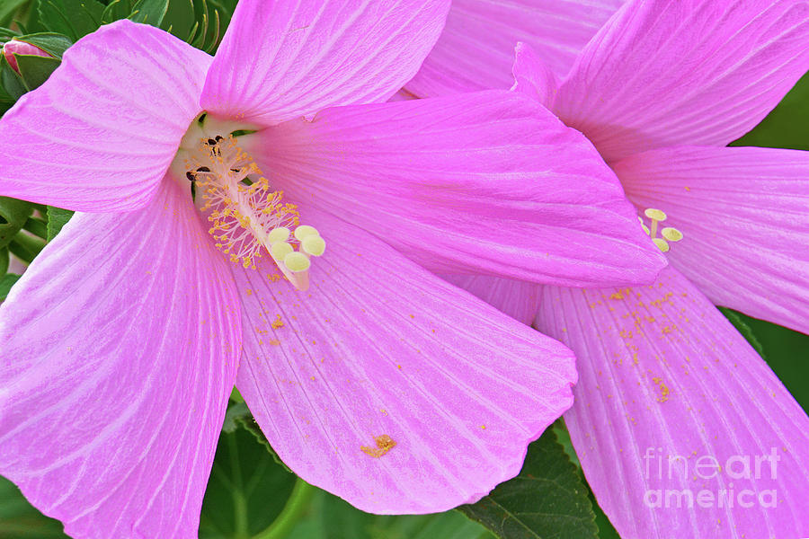 Pink Rose Mallow Flowers Photograph