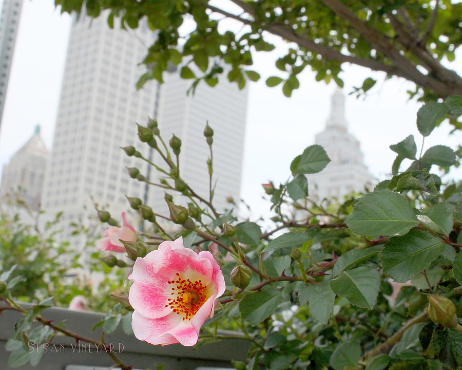 Tulsa Photograph - Pink Rose Of Tulsa by Susan Vineyard
