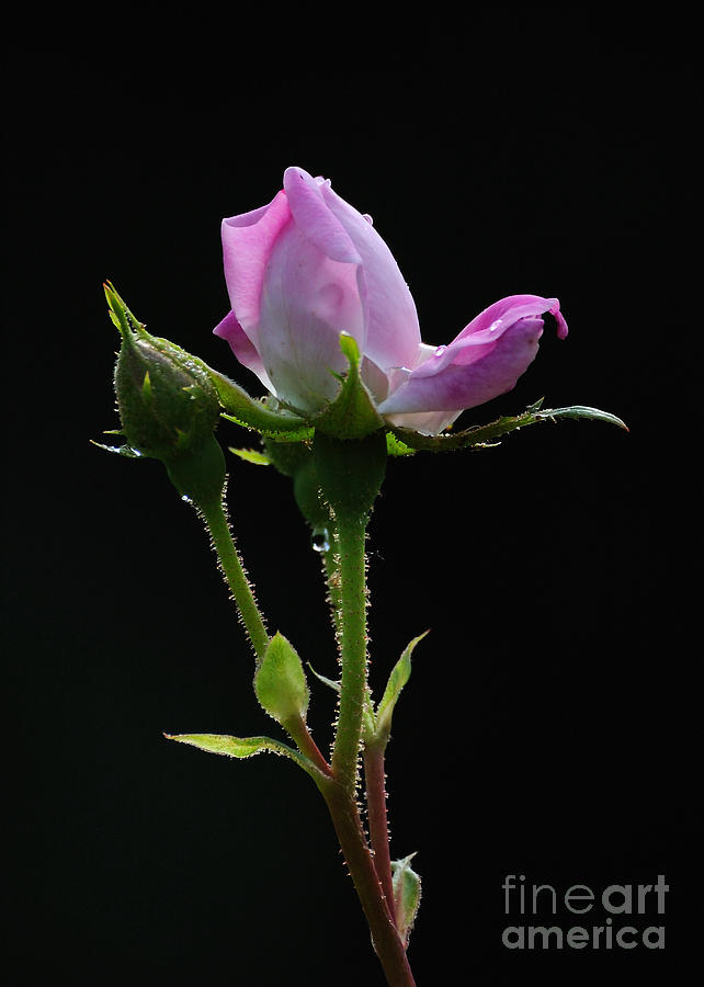 Rose Photograph - Pink Rose Silhouette by Edward Sobuta