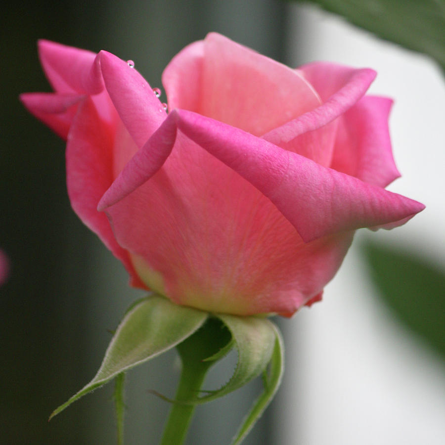 Rose Photograph - Pink Rose Squared by Teresa Mucha