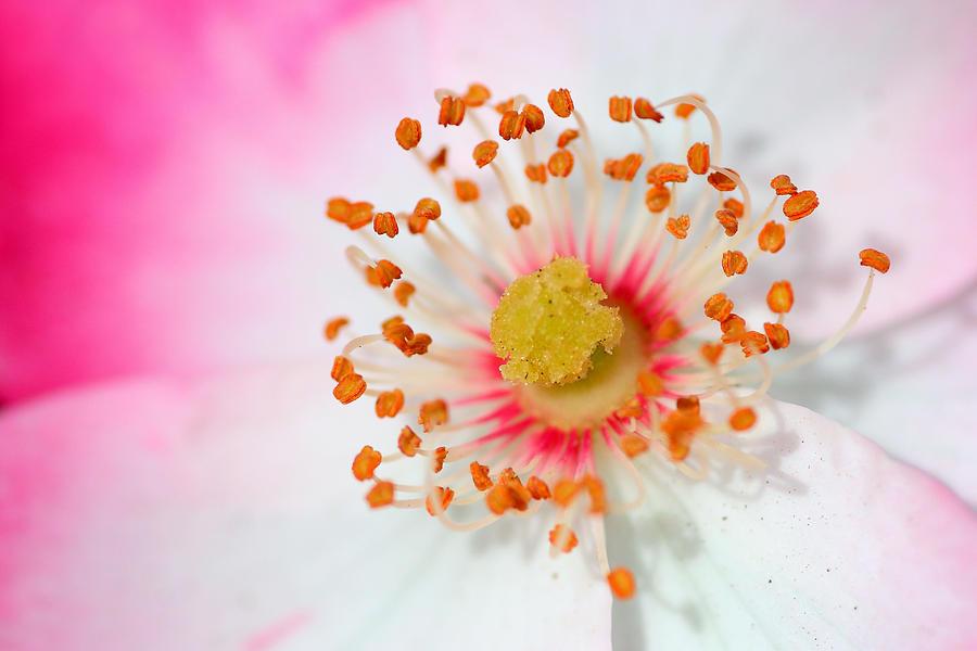 Flower Photograph - Pink Rose by Svetlana Ledneva-Schukina