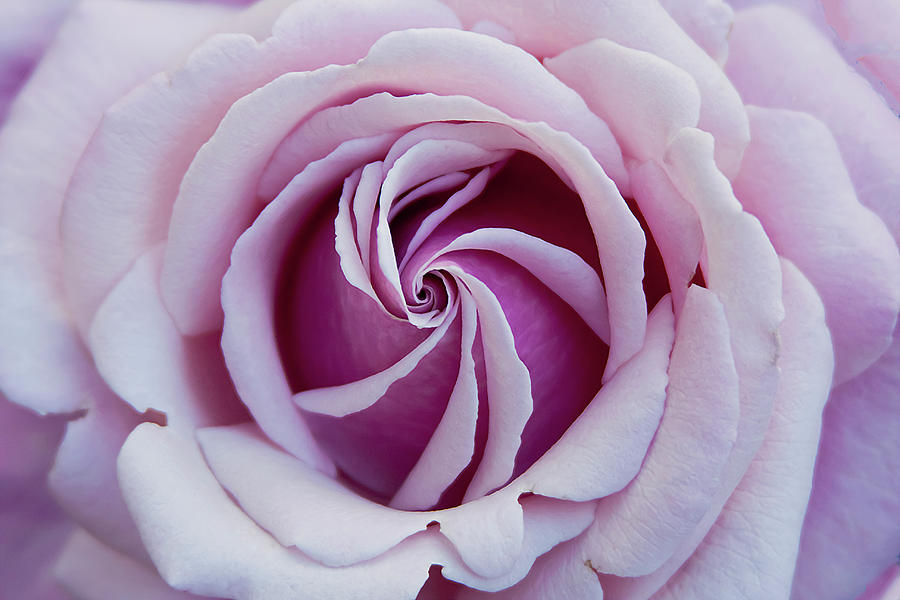 Rose Photograph - Pink Rose Swirl by Vanessa Thomas