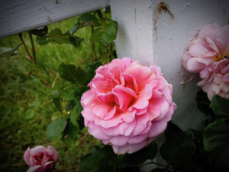 Pink Photograph - Pink Rose by Valeria Donaldson