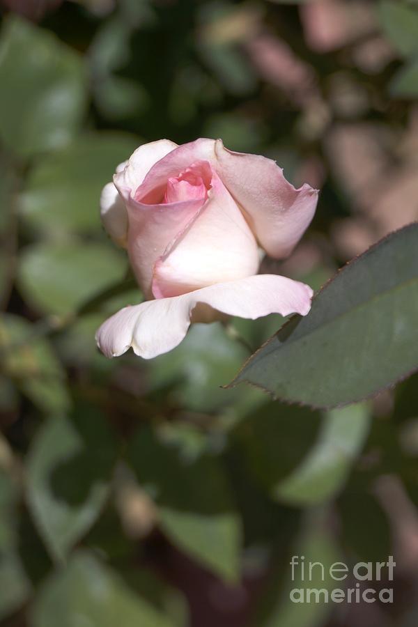 Pink RoseBud by Kerri Mortenson
