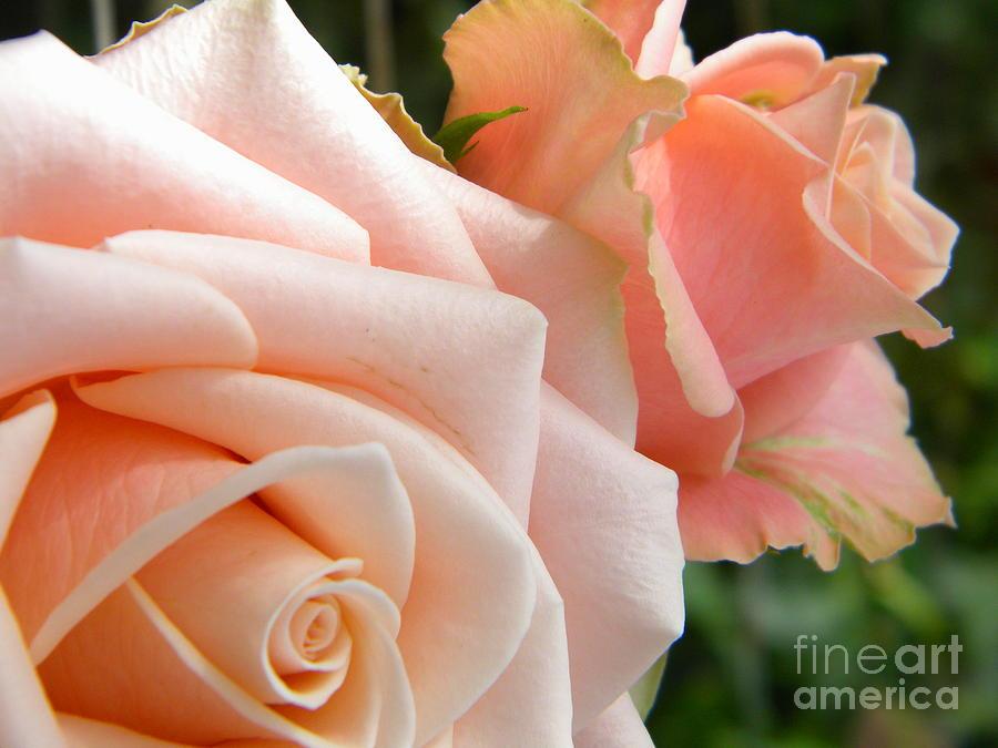 Flower Photograph - Pink Roses by Amanda Heavlow