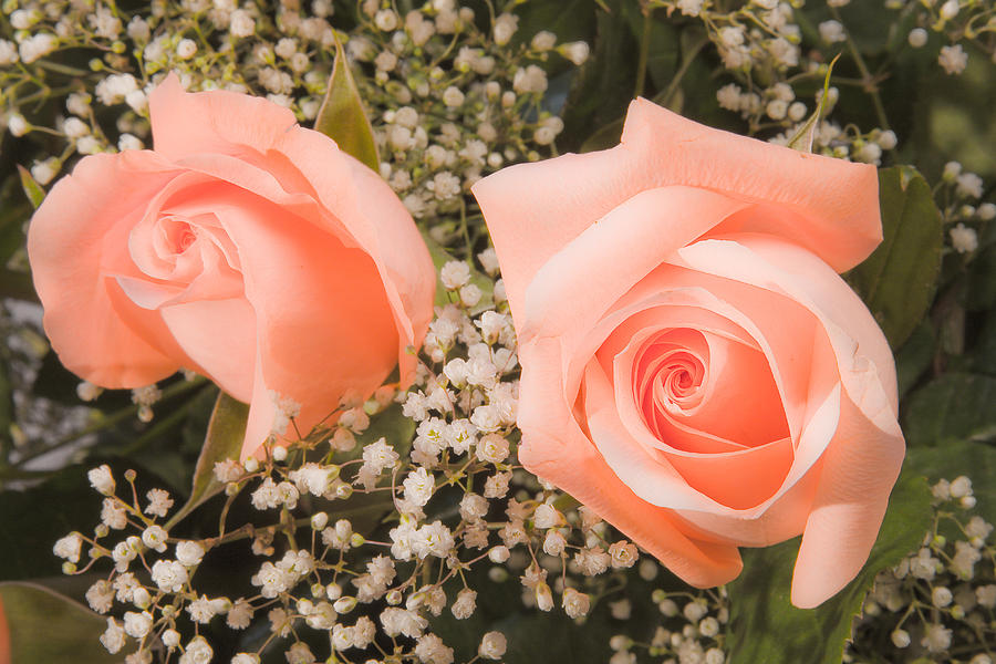 Roses Photograph - Pink Roses Fine Art Photography Print by James BO  Insogna
