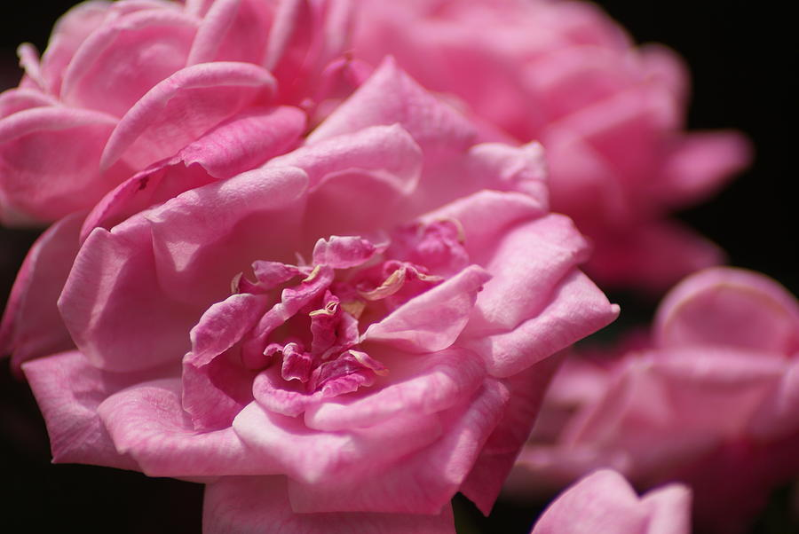 Roses Photograph - Pink Roses by Heather Green