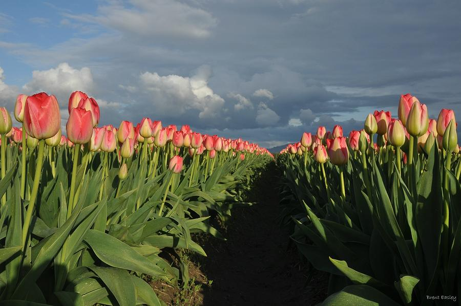 Flowers Artwork Photograph - Pink Row Tulips by Brent Easley
