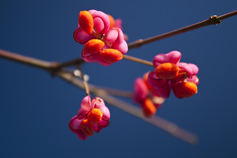 Pink Spindle fruit by David Isaacson