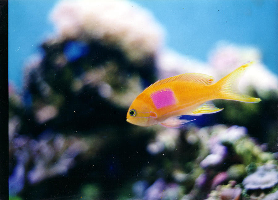Pink Square Anthias Photograph - Pink Square Anthias Part II by Steve  Heit