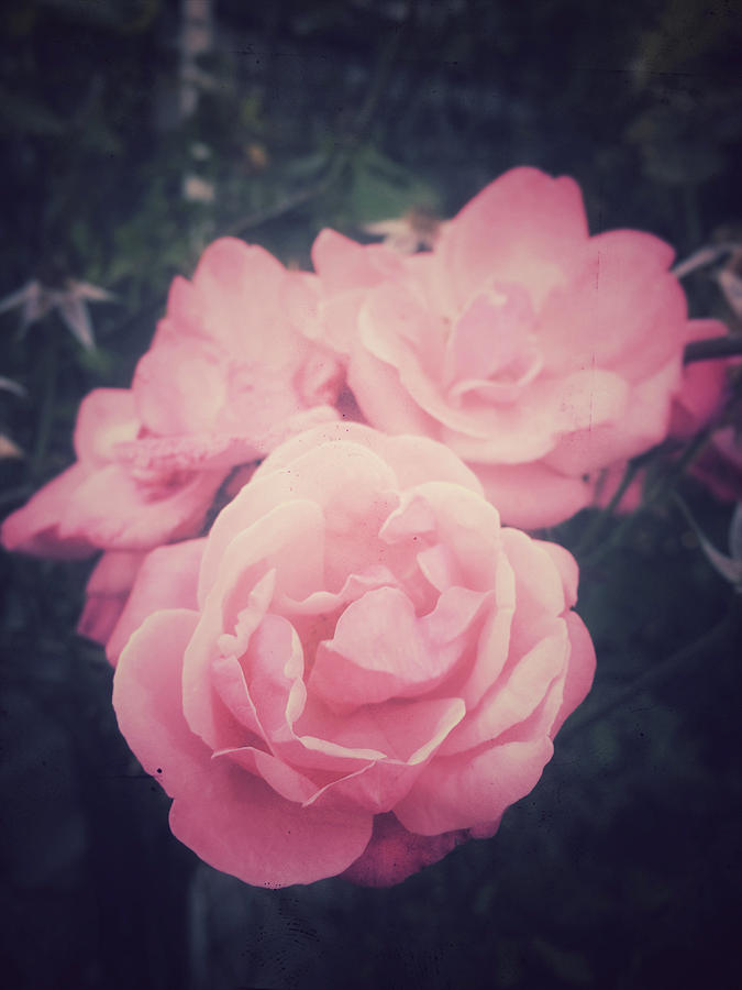 Anniversary Photograph - Pink Summer Roses by Tom Gowanlock