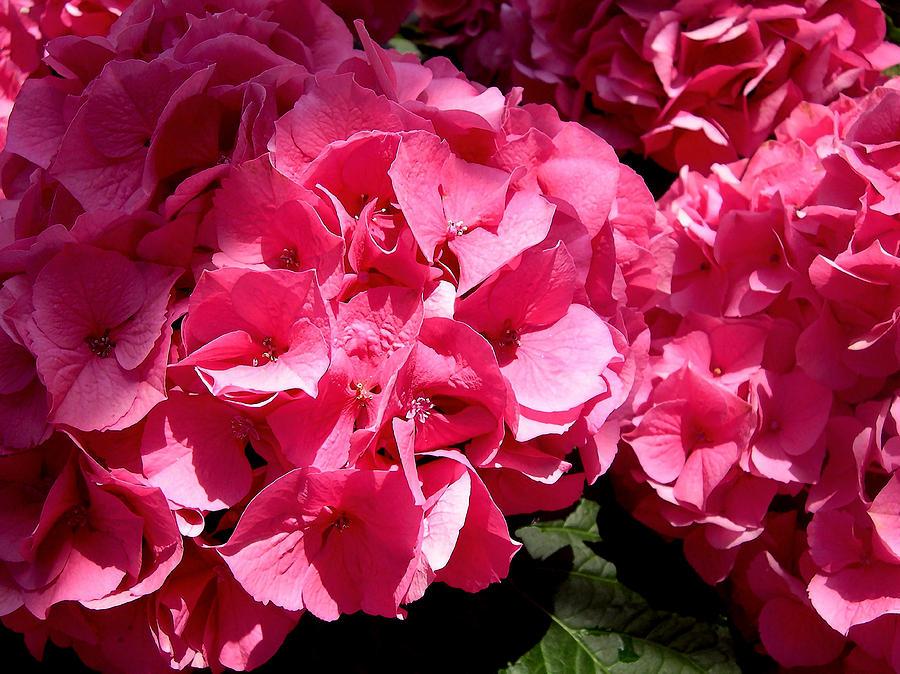Hydrangea Photograph - Pink-tacular by Susan Maxwell Schmidt