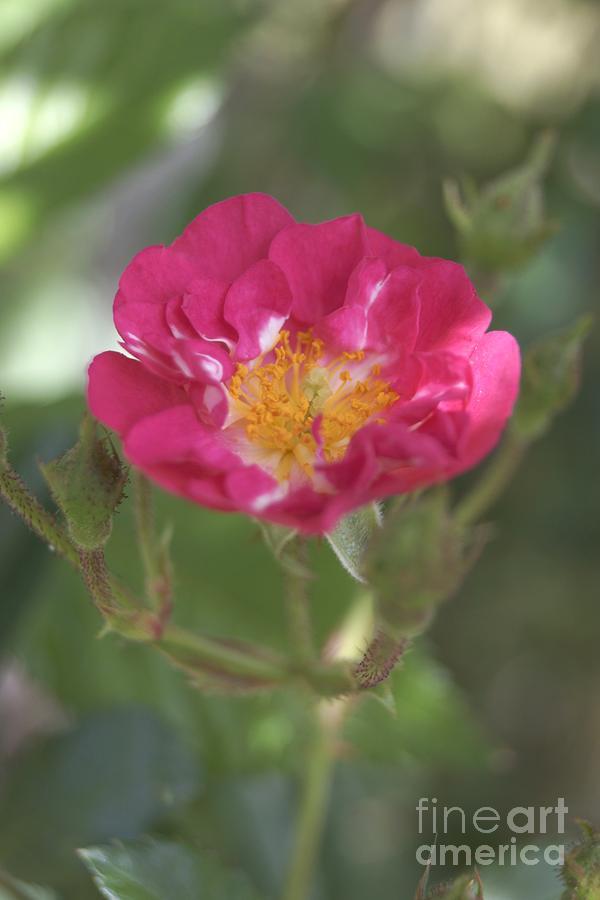 Pink TeaRose by Kerri Mortenson