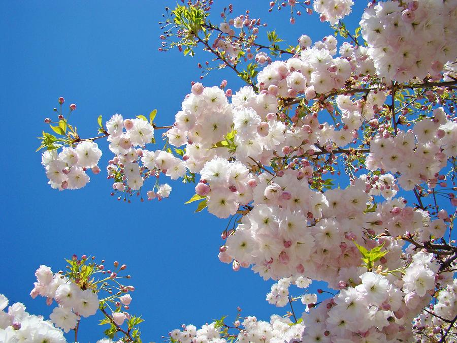 Pink Tree Blossoms Art Prints 55 Spring Flowers Blue Sky Landscape