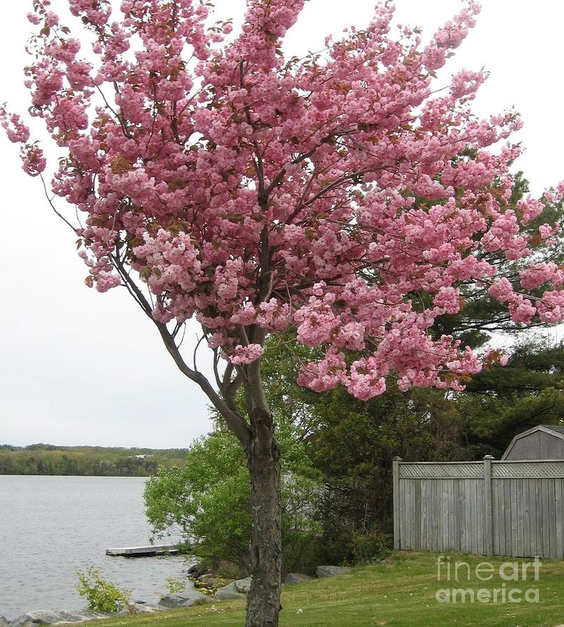 Pink tree flowering crabapple tree on the shoreline photograph by pink photograph pink tree flowering crabapple tree on the shoreline by sylvie marie mightylinksfo