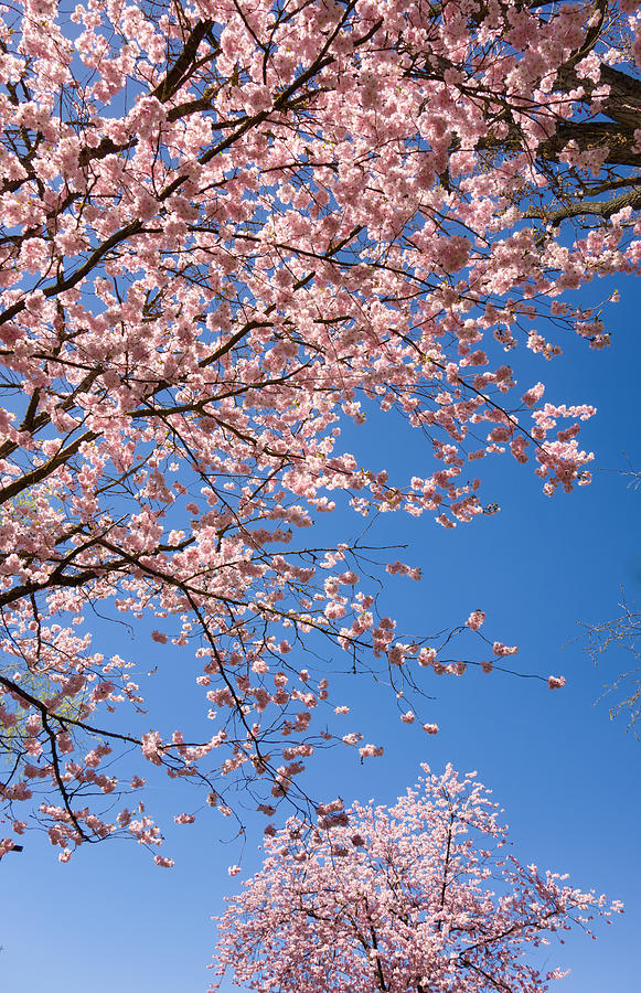 Pink Trees In Full Bloom In Spring Photograph
