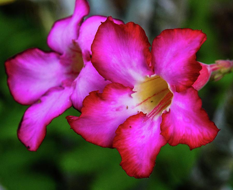 Pink trumpet flower photograph by joann waggoner pink photograph pink trumpet flower by joann waggoner mightylinksfo