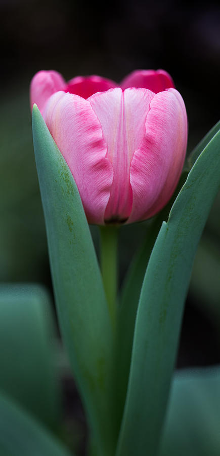 Vertical Panoramic Photograph - Pink Tulip Panoramic by Dale Kincaid