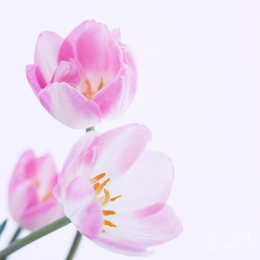Tulip Photograph - Pink Tulips by Hideaki Sakurai