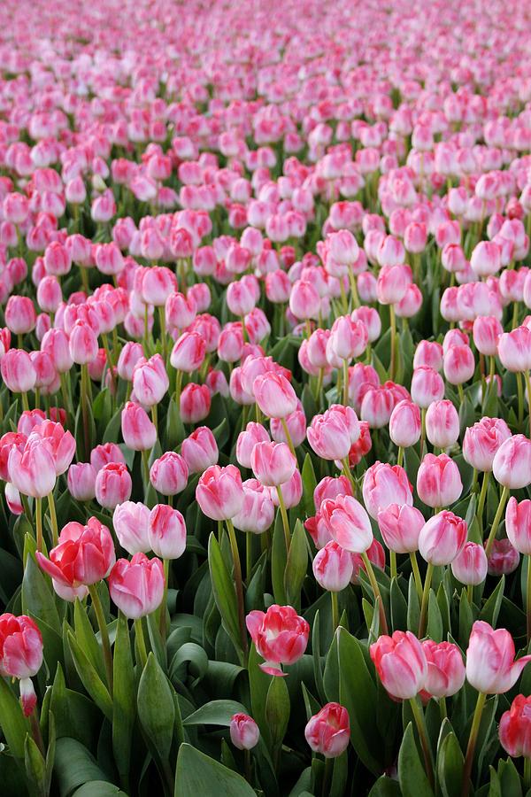 Pink Tulips- Photograph Photograph