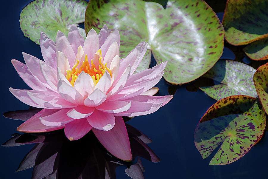 Pink Water Lily Bloom by Julie Palencia