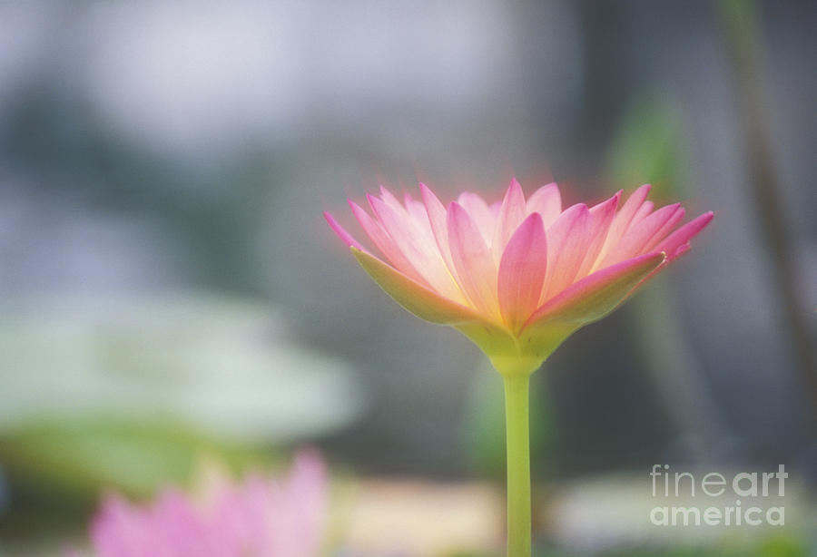 Afternoon Photograph - Pink Water Lily by Ron Dahlquist - Printscapes