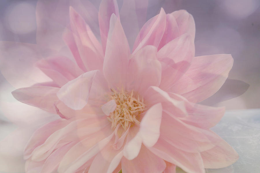 Soft Light Photograph - Pink Whisper by Bonnie Bruno