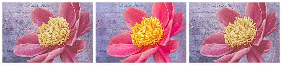 Flowers Photograph - Pink Whispers Triptych Two by Alice Gipson