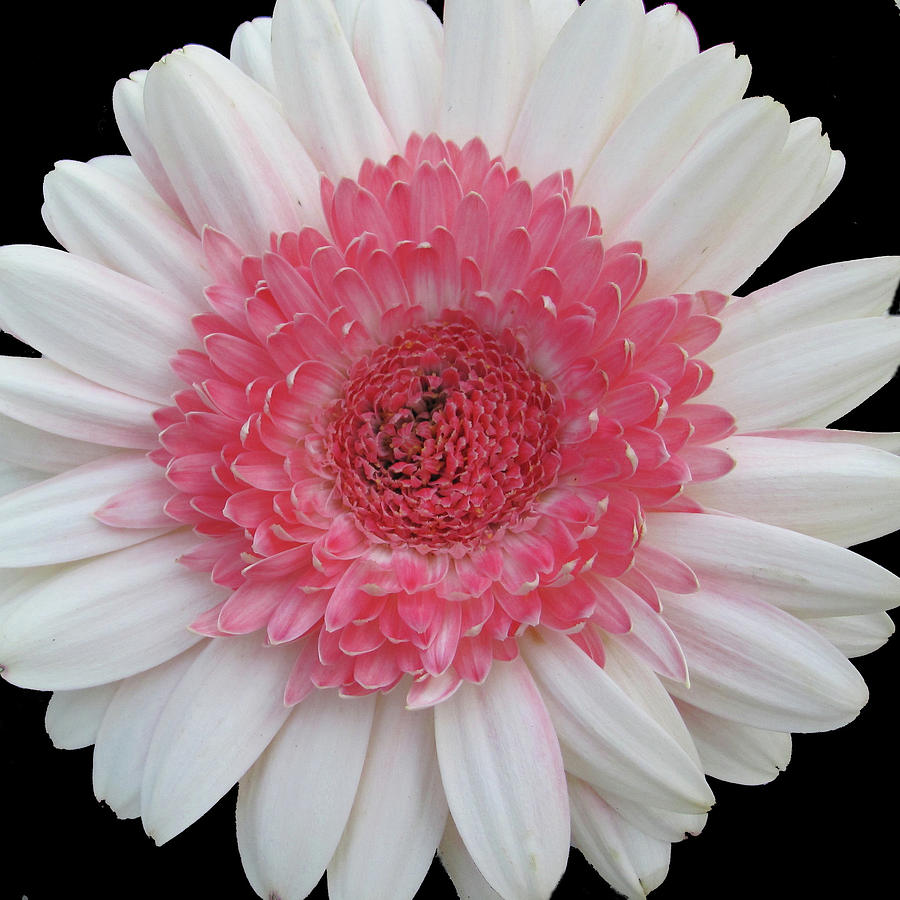 Pink-White Gerber Daisy Photograph by Judith Turner