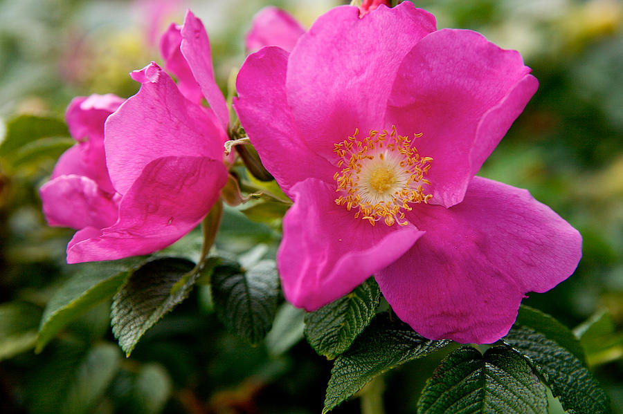 Pink Wild Flower by Lawrence Boothby