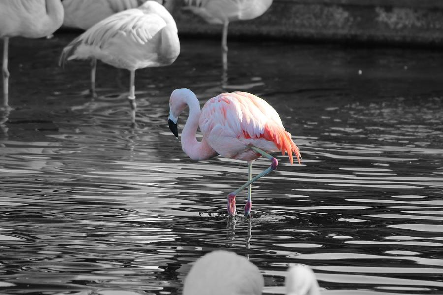 Pink Flamingo Photograph - Pinky by Colleen Cornelius