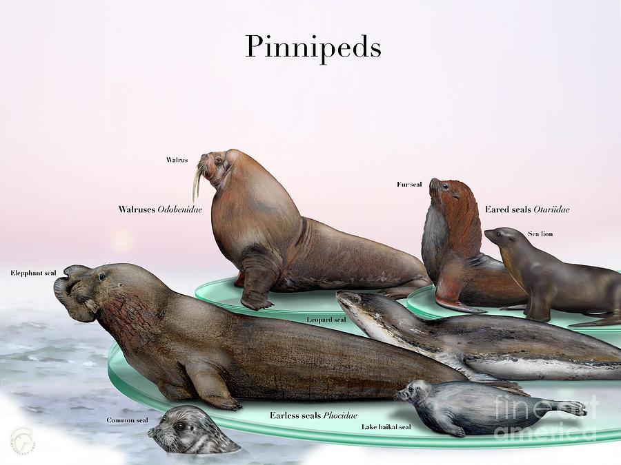 Pinnipeds  - Seals  - Walruses Odobenidae - Eared Seals Otariidae -  Earless Seals Phocidae Painting