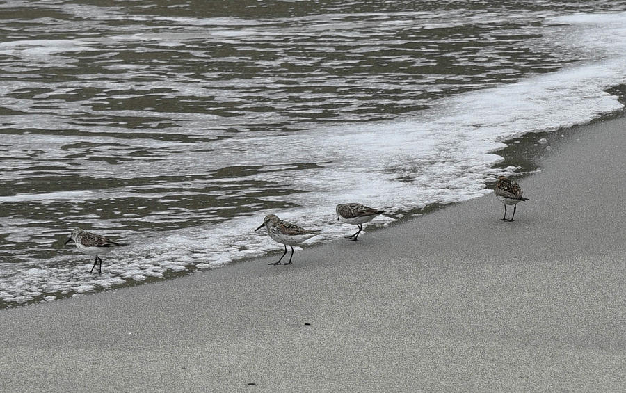 Sandpipers Photograph - Pipers on the water by Rusty Photography by Richard Temkin