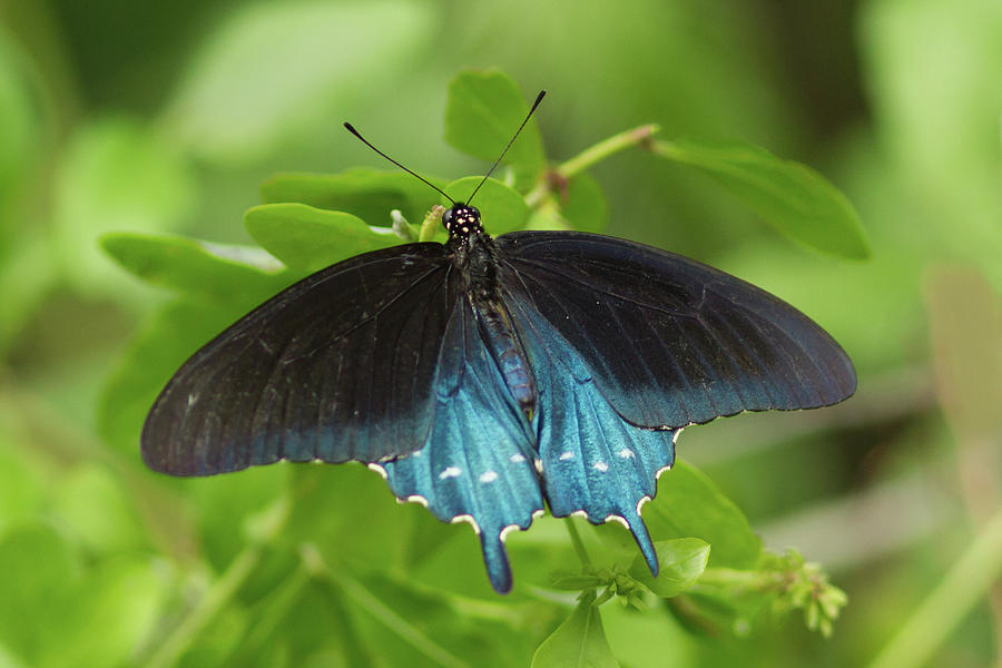 Pipevine Swallowtail Butterfly Photograph