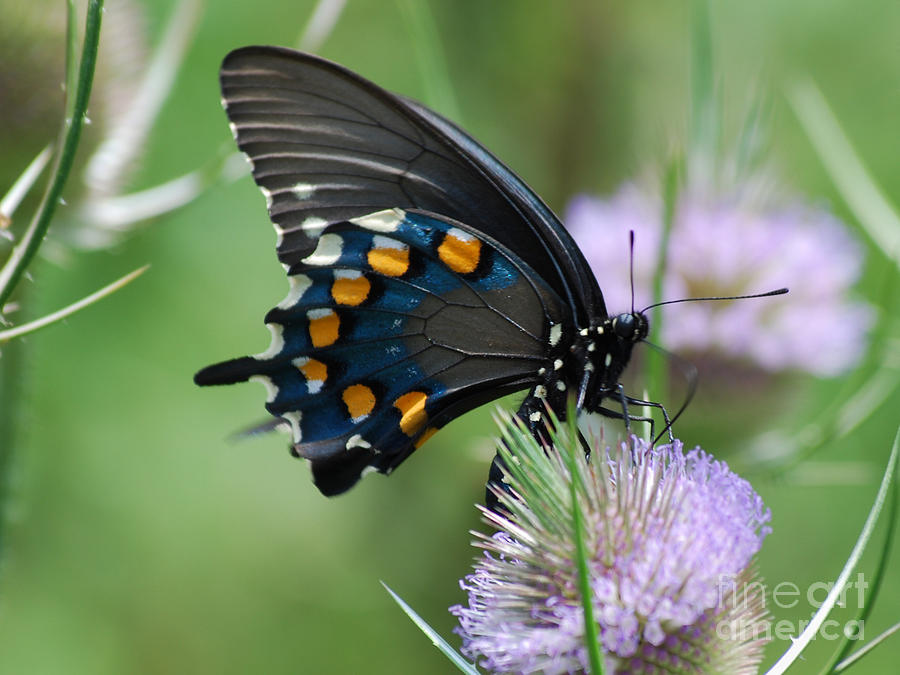 Pipevine Swallowtail Photograph - Pipevine Swallowtail by Randy Bodkins