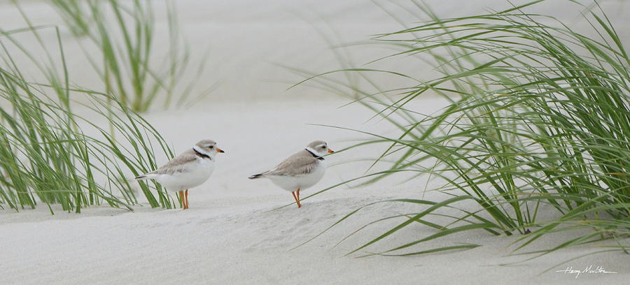 Piping Plovers by Harry Moulton