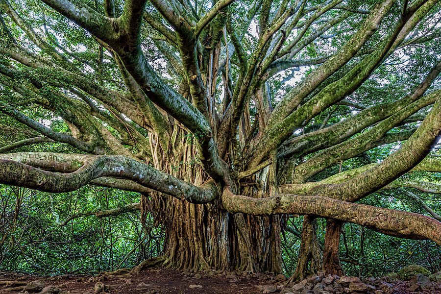Pipiwai Trail Photograph - Pipiwai Banyan by Kelley King