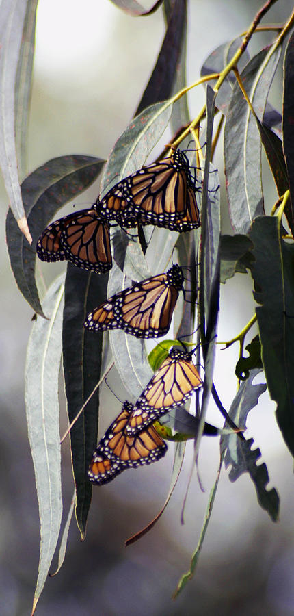 Pismo Butterflies by Gary Brandes