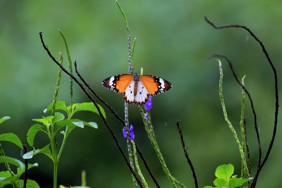 Butterfly Photograph - Plain Tiger Butterfly by David Gn