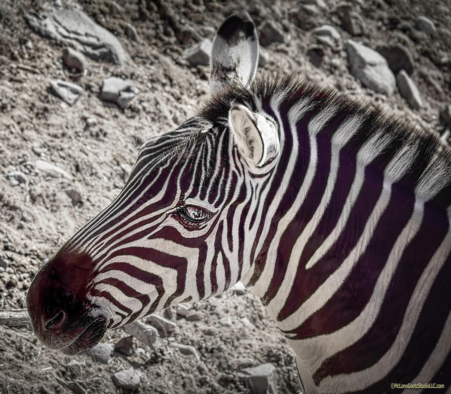 Plains Zebra Photograph