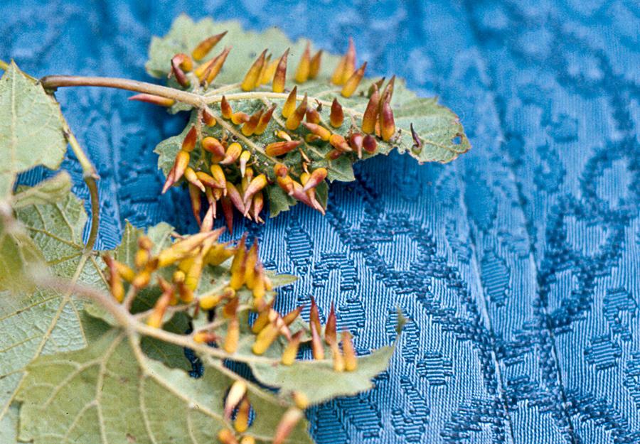 Plant Photograph - Plant Galls by Douglas Barnett