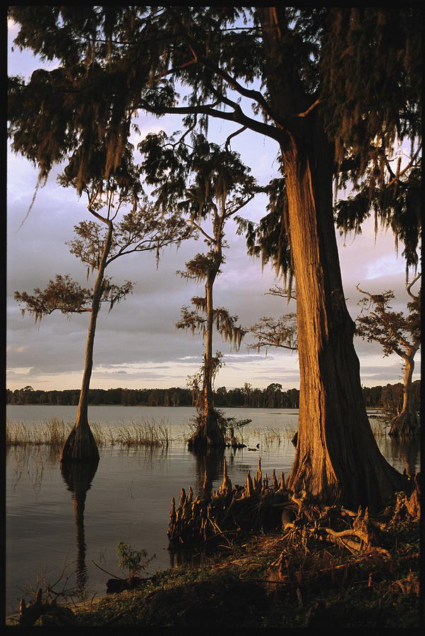North America Photograph - Plantation Gardens, Cypress Trees by Richard Nowitz