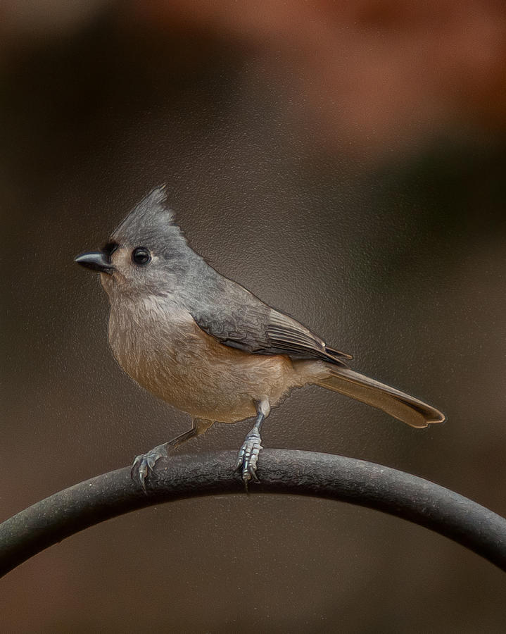 Tufted Titmouse Photograph - Plastic Wrapped Titmouse by Robert L Jackson