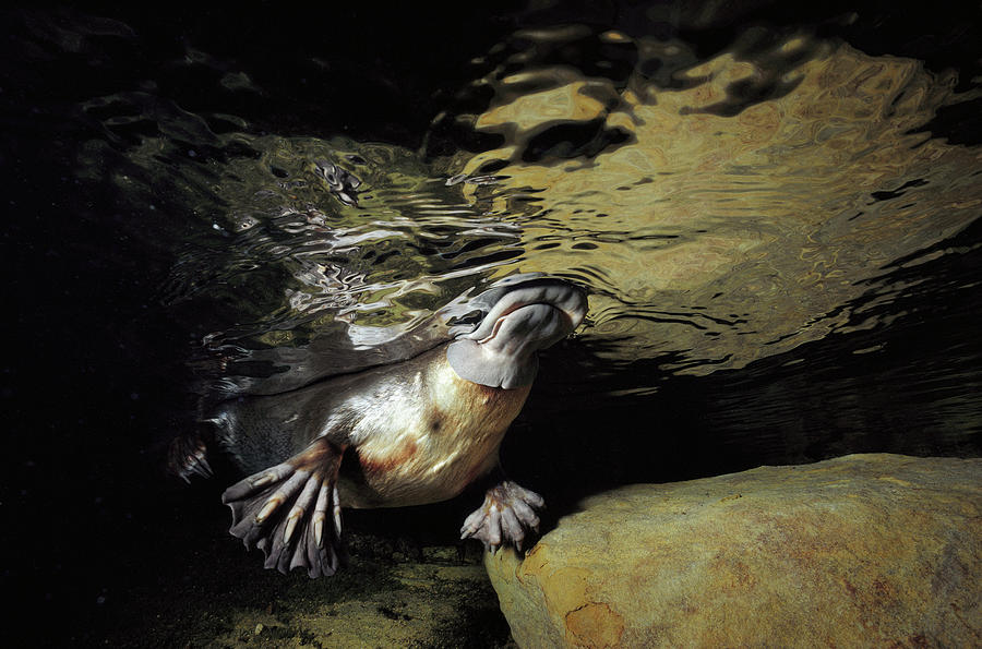 Platypus Surfacing by David Parer and Elizabeth Parer-Cook