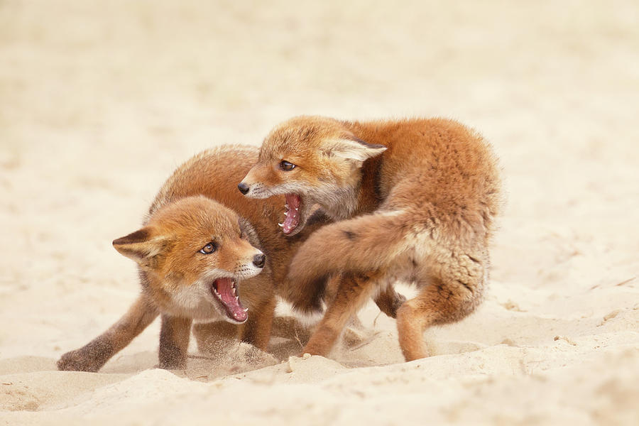 Fox Photograph - Playfighting Red Fox Kits by Roeselien Raimond