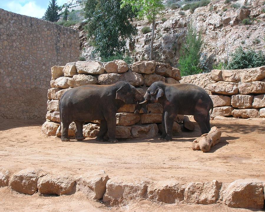 Elephants Photograph - Playful Elephants by Susan Heller