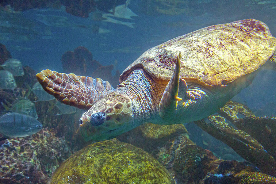 Sea Photograph - Playful Green Sea Turtle by Betsy Knapp